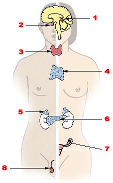 Hormoni
